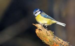 Svenska-Engelska: Vanliga fåglar i Sverige