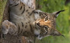 Zoologi: Svenska köttätande däggdjur (svenska-engelska)