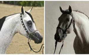 Kan du gissa de här hästraserna?