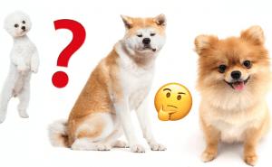 Quiz: Hur många hundraser kan du pricka rätt?