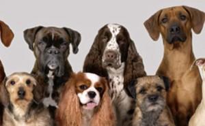 Kan du namnet på hundrasen?