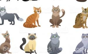 Vad heter katt rasen?