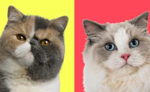 Välj fem katter så beskriver vi hur du är som person