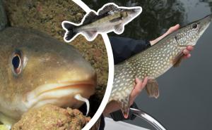 Har du koll på 11 av de vanligaste fiskarna i Sverige?